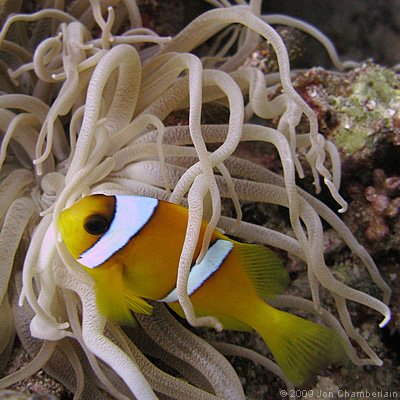 Picture of a Red Sea Anemonefish