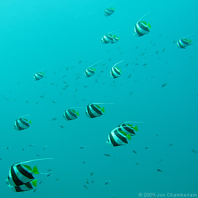 Picture of Schooling Bannerfish