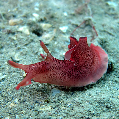 Picture of an Aplysia punctata sea hare taken at Martin's Haven in 2012